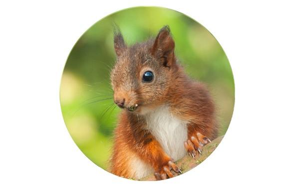 """Button """"Kleiner Baumkobold"""" 2 - Eichhörnchen - 2 Größen zur Auswahl"""