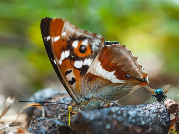 Tarngesicht-vom-Schmetterling-6