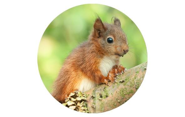 """Button """"Kleiner Baumkobold"""" - Eichhörnchen - 2 Größen zur Auswahl"""