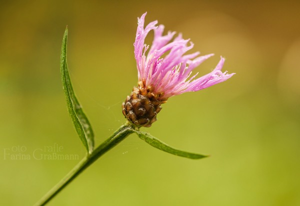 gemeine-Wiesenflockenblume-7