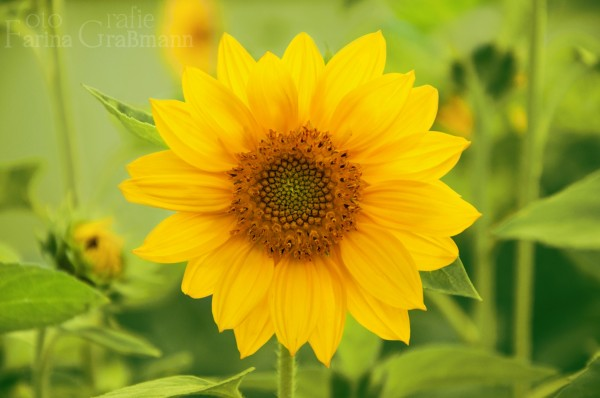 Sonnenblume-5