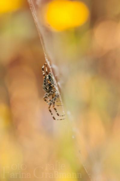 Spinne-bei-Sonnenuntergang-4