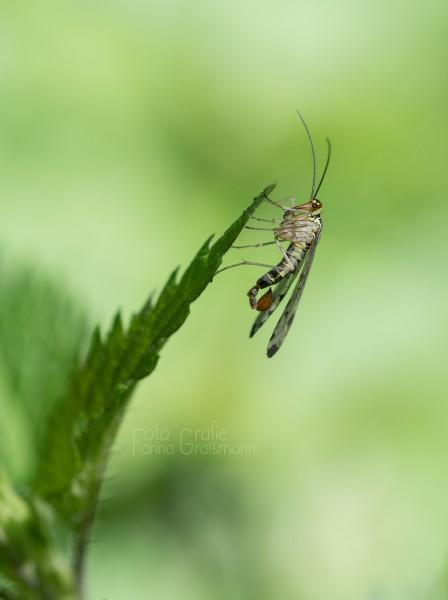 Skorpionsfliege-auf-Brennessel-5