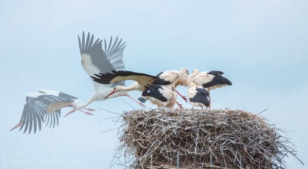 Zusammenschnitt-fliegender-Storch3