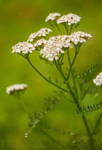Schafgarbe-ganze-Pflanze-3