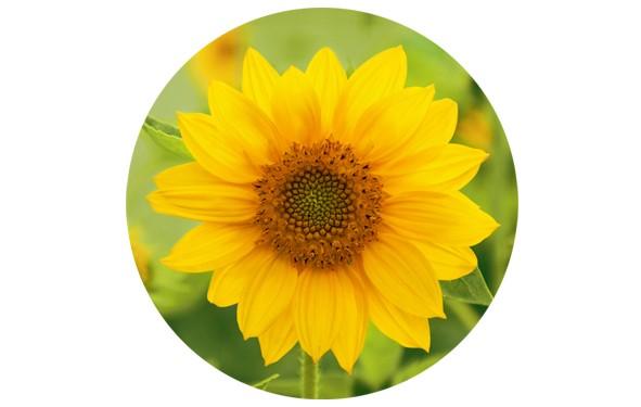 """Button """"Sonnenblume"""" - 2 Größen zur Auswahl"""